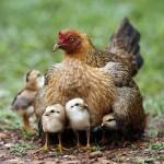 hen_chicks-thumb-400x266